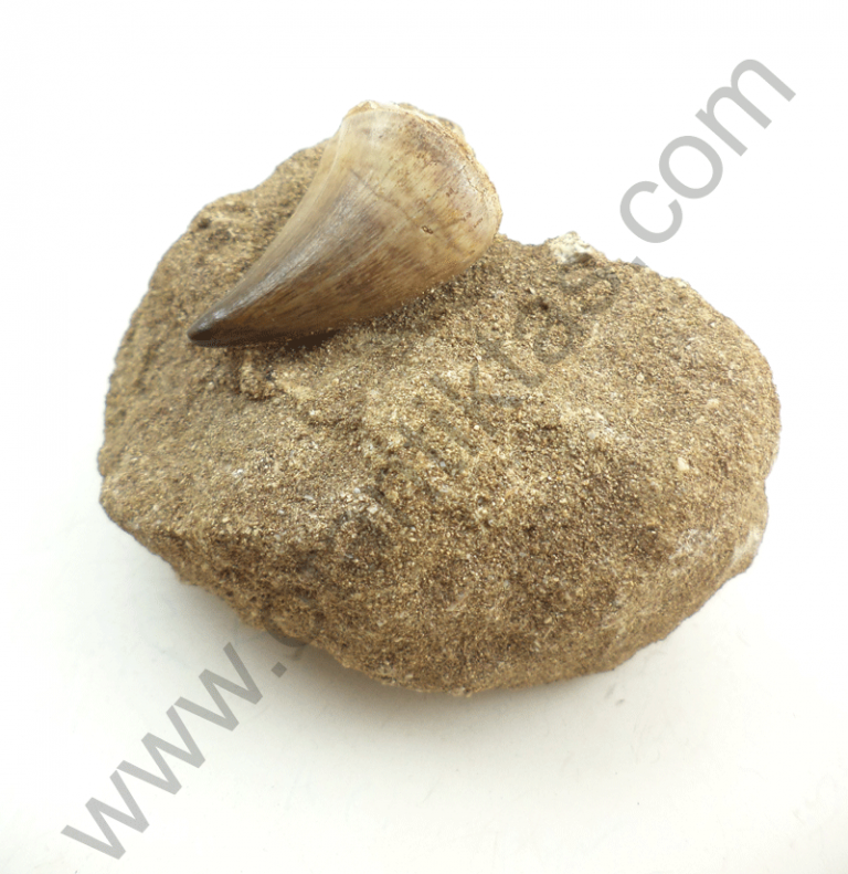 Köpek Balığı Dişi Fosili